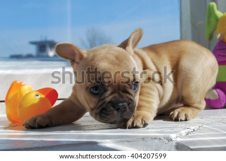 Portrait of a brindle French bulldog in the interior with toys - stock photo