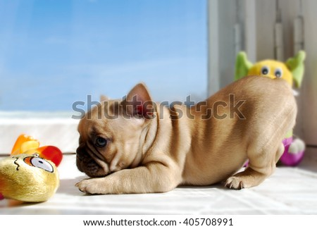 Portrait of a brindle French bulldog in the interior with toys-1 - stock photo