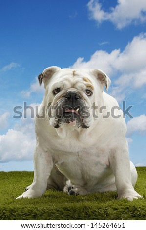Portrait of a British bulldog sitting on grass against the sky - stock photo