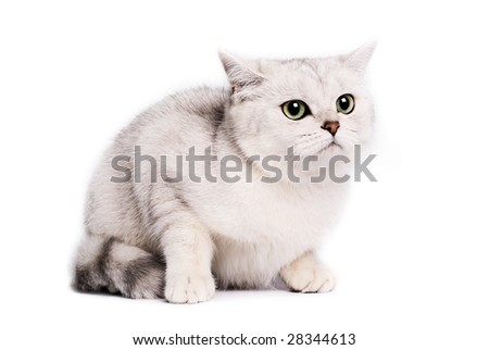 Portrait of a British chinchilla Cat on a brown background. Studio shot.