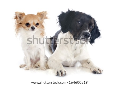portrait of a brittany spaniel and chihuahua in front of white background