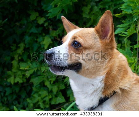 Portrait of a brown and white Welsh Corgi dog, green foliage in the background with copy space