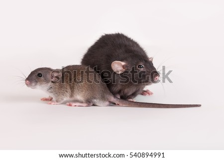 Portrait of a brown baby rat and adult black