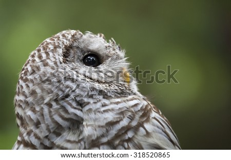 Portrait of a Brown Barred Owl in a forest, Canada
