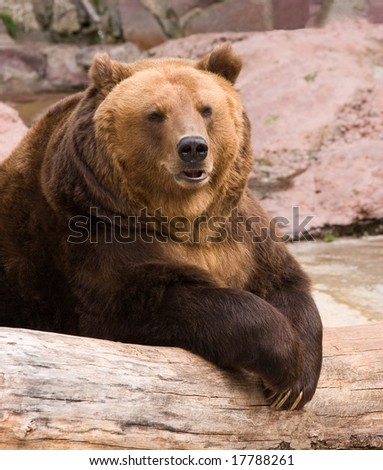 Portrait of a brown bear. - stock photo