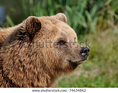 Portrait of a brown bear
