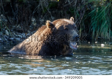 Portrait of a brown bear resting in a river
