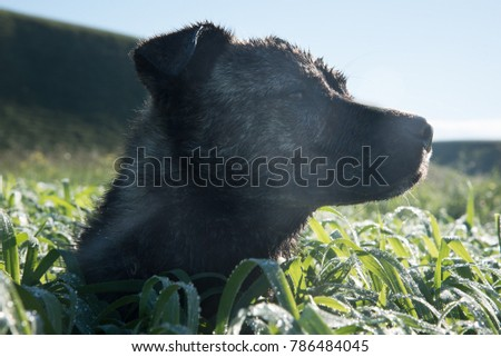 Portrait of a brown dog in the green grass under morning dew