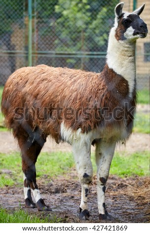 Portrait of a brown domesticated lama in its pen - stock photo