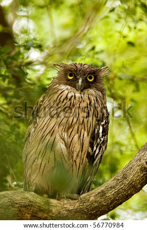 Portrait of a Brown Fish Owl perched on a tree - stock photo