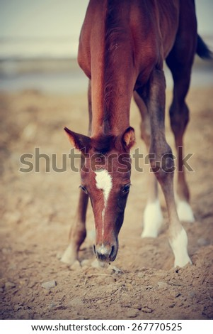 Portrait of a brown foal with an asterisk on a forehead. - stock photo