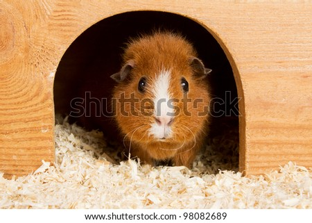 Portrait of a brown guinea pig looking out of a wooden house - stock photo