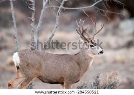 Portrait of a buck mule deer looking to the right over a valley - stock photo