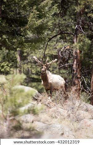 Portrait of a bull elk - stock photo