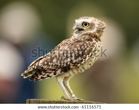 Portrait of a burrowing owl - stock photo