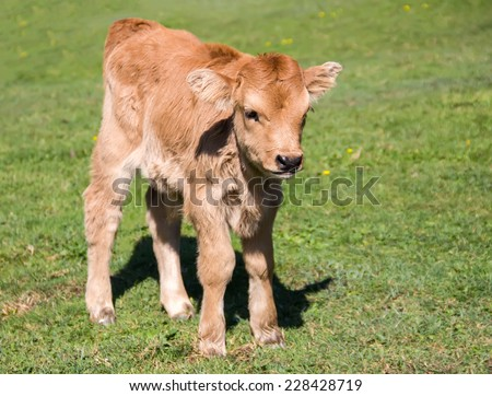 Portrait of a calf in a meadow - stock photo