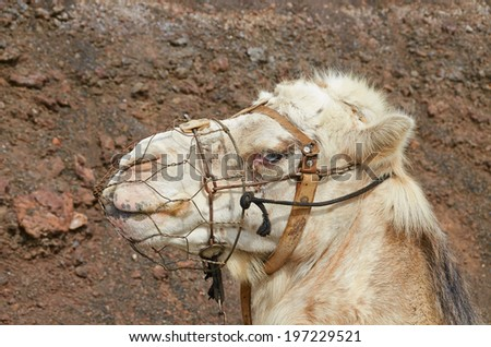 Portrait of a camel from National Park Timanfaya island Lanzarote - stock photo