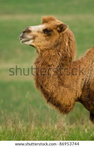 Portrait of a camel in pasture - stock photo