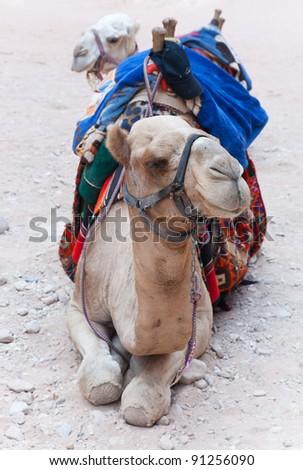 Portrait of a camel in Petra, Jordan. - stock photo