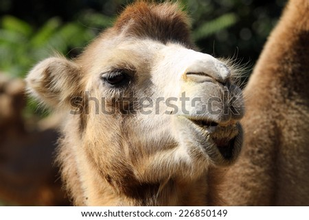 Portrait of a camel in the zoo close up - stock photo