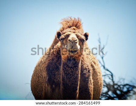 Portrait of a camel on blue sky background. - stock photo