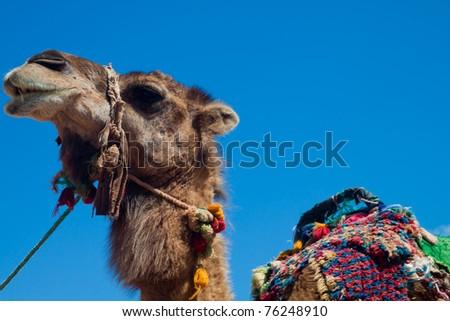 Portrait of a camel on the blue sky - stock photo