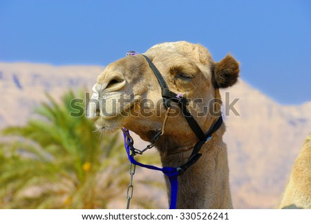 Portrait of a camel's head against the big photographed mountains, palm trees and blue sky - stock photo