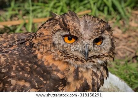 Portrait of a Cape Eagle Owl - Bubo Capensis - stock photo