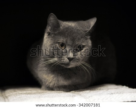 Portrait of a cat. British Shorthair cat breed. Cheshire cat. Sight of a cat. Cat's-eye. Pet the animal on a black background. Graceful and proud cat. The Cheshire smile. Cheshire smile - stock photo