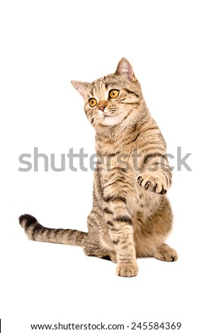 Portrait of a cat Scottish Straight sitting with a raised paw - stock photo
