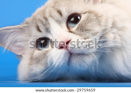Portrait of a cat with blue eyes