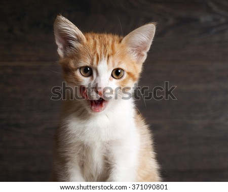 Portrait of a cat. Young cat, kitten. The cat washes language. Muzzle cat largly. White with red kitten. Background - a dark wooden board. Kitten beautiful yellow eyes. Language pink - stock photo