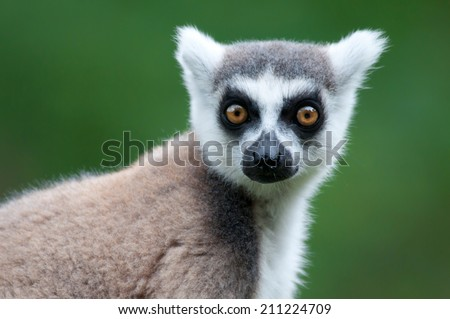 portrait of a catta lemur on a soft green background - stock photo