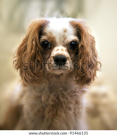 Portrait of a Cavalier King Charles Spaniel. Intentional shallow depth of field with focus on eye. - stock photo