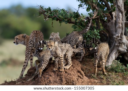 Portrait of a Cheetah cub with mother Shingo and siblings in the background on a termite hill in the shadow of a tree in Masai Mara, Kenya - stock photo
