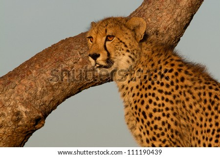 Portrait of a cheetah in a tree