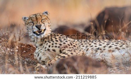 Portrait of a cheetah in soft light, South Africa - stock photo