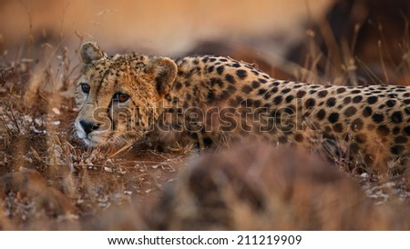 Portrait of a cheetah in soft light, South Africa