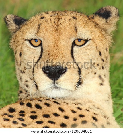 Portrait of a Cheetah in the nature - stock photo