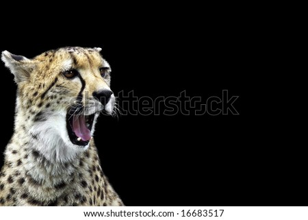 Portrait of a cheetah isolated on black. - stock photo