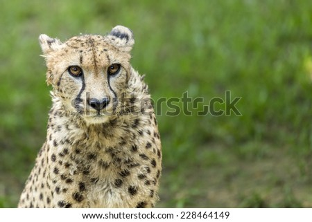 Portrait of a cheetah staring  - stock photo