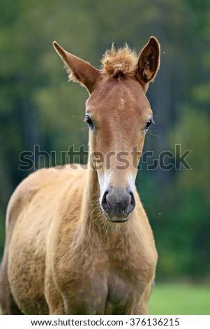 Portrait of a chestnut foal - stock photo