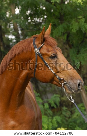 portrait  of a chestnut trakehner  stallion