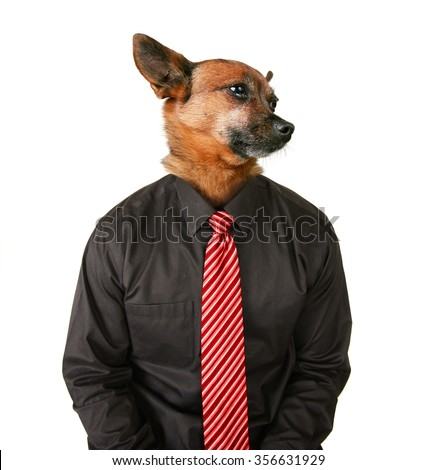 portrait of a chihuahua dog as a business looking off to the side man wearing a suit and red tie isolated on a white background - stock photo