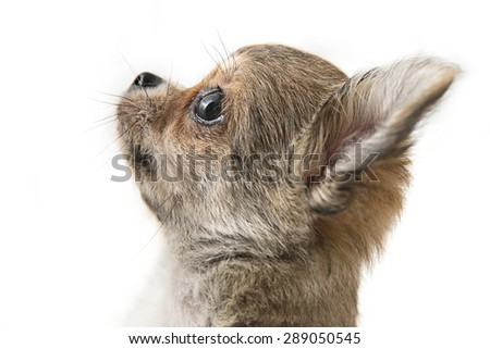 portrait of a Chihuahua puppy - stock photo