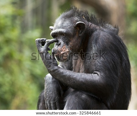 portrait of a chimpanzee scratching its nose