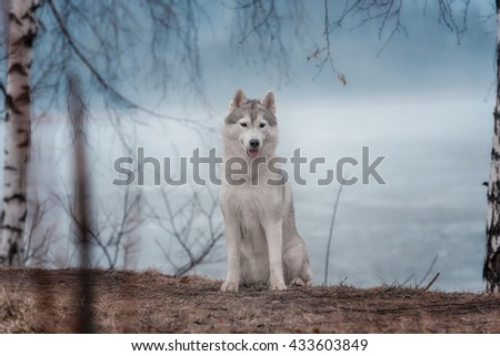 Portrait of a close-up dog Siberian Husky. River landscape.