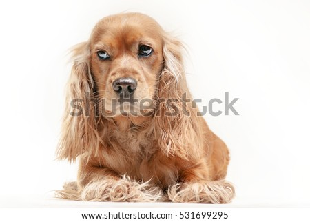 Portrait of a cocker spaniel on the white background
