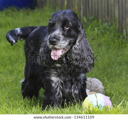Portrait of a cocker spaniel sitting in the garden, summer scenery - stock photo