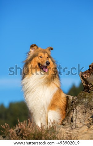 portrait of a collie dog sitting beside a tree stub